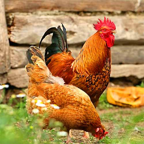 قیمت هر کیلو مرغ و خروس زنده محلی برای قربانی