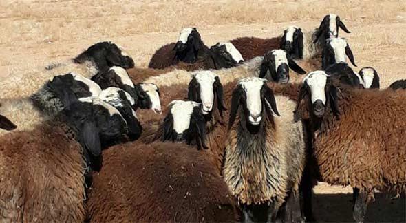 قیمت گوسفند زنده در تهران