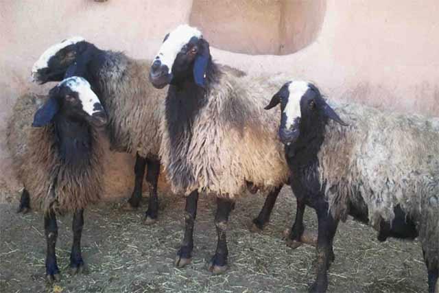 متوسط وزن گوسفنده زنده
