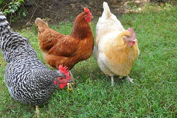 قیمت مرغ زنده محلی برای قربانی