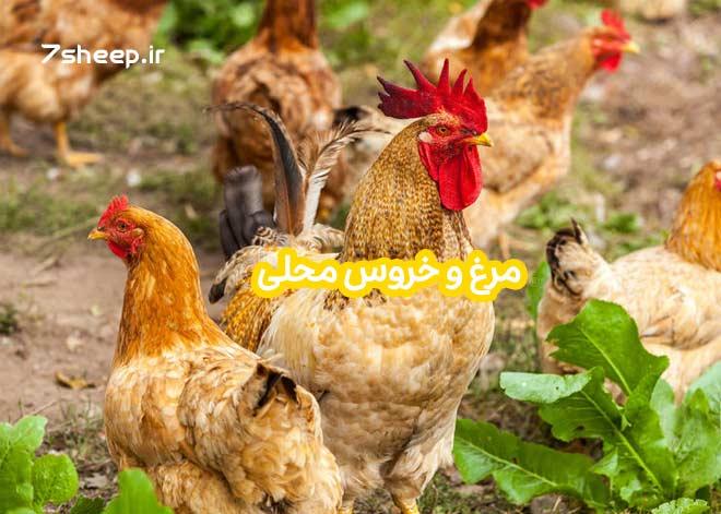 مرغ و خروس زنده محلی در تهران و کرج