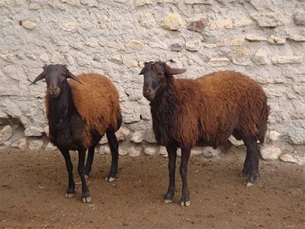 گوسفند زنده در تهران و کرج