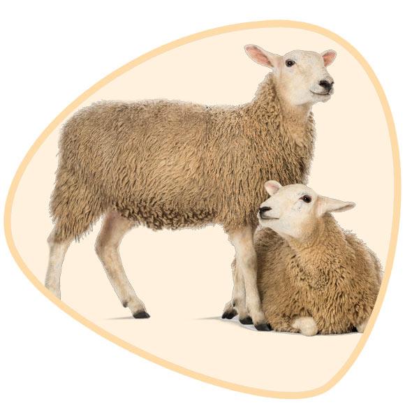 گوسفند و بره