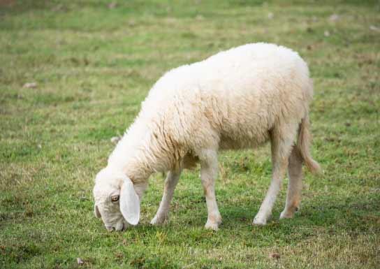 انواع نژاد گوسفندان در دنیا