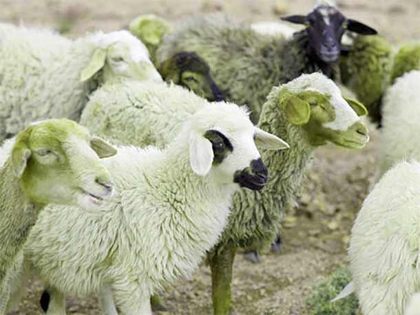 انواع نژاد گوسفند