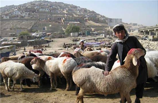 بره نژاد افغانستان