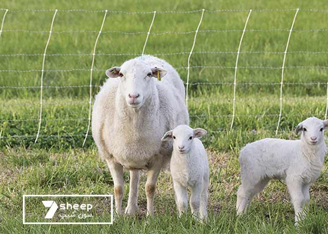 بهترین نژاد گوسفندان ایرانی و خارجی در دنیا