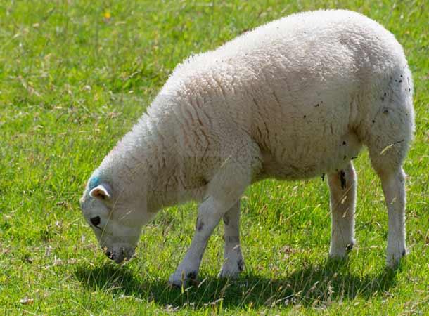 بهترین گوسفندان ایرانی