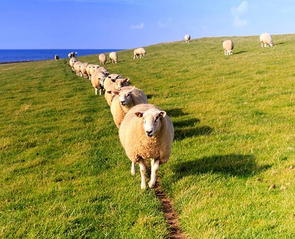 دیدن گوسفند در خواب چه تعبیری دارد
