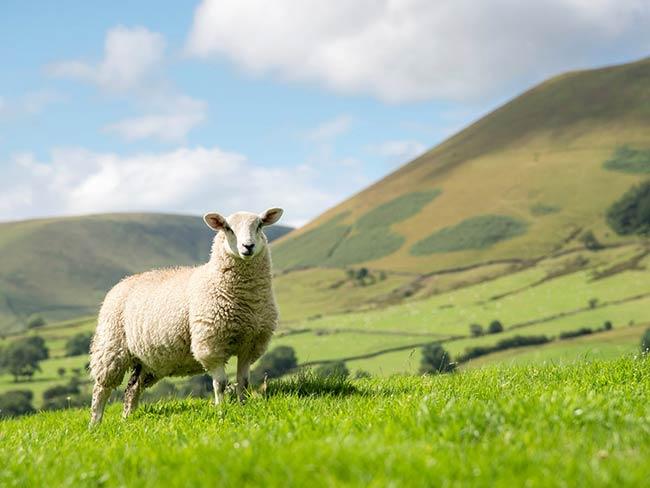 دیدن گوسفندان در خواب