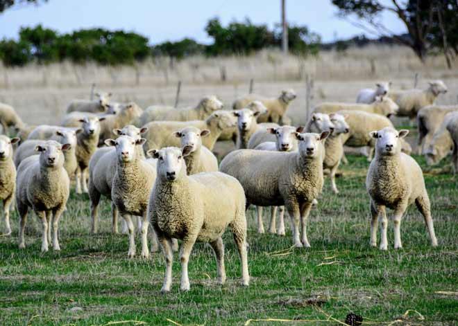 تعبیر دیدن گوسفند در خواب و رویا