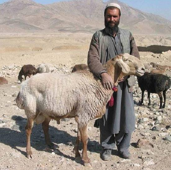 خرید دام نژاد افغانی