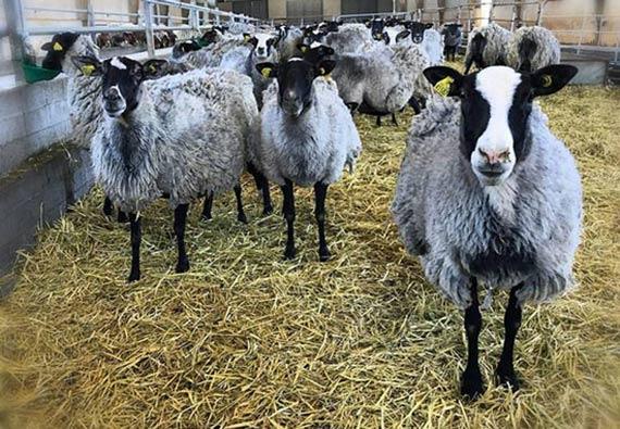خرید گوسفند رومانف
