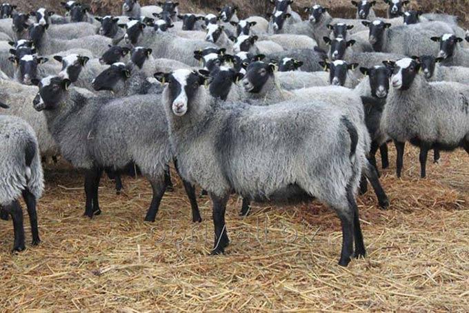 خرید گوسفنده چند قلوزا