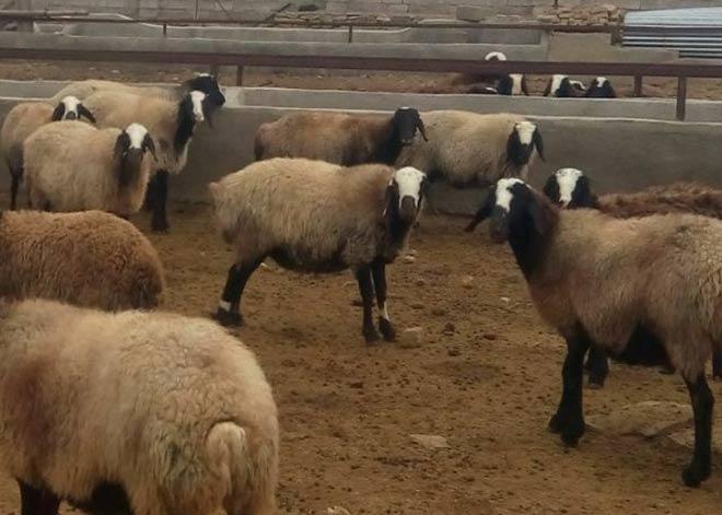 خرید گوسفند شال