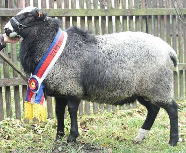 گوسفند رومانوف