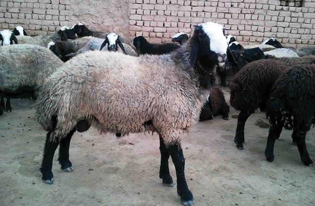 قیمت گوسفنده شال