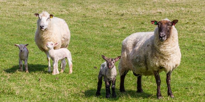 قیمت گوسفند چند قلو زا