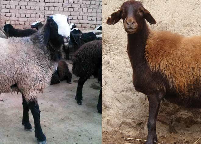 مقایسه گوسفند افشار با شال