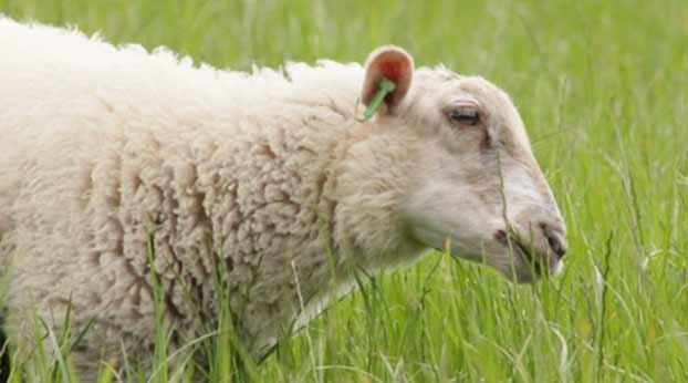 نژاد گوسفندان ایرانی