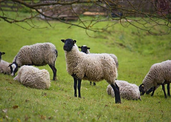 گوسفندان نژاد رومانوف