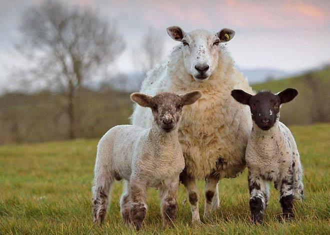 گوسفندان چند قلوزا