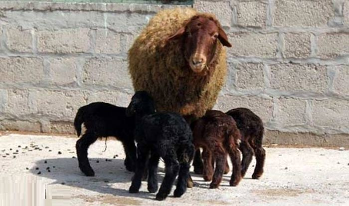 گوسفند ایرانی چند قلوزا