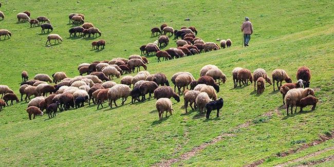 برترین گوسفندان گوشتی