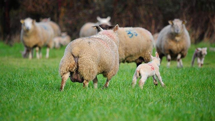 فلاشینگ گوسفندان