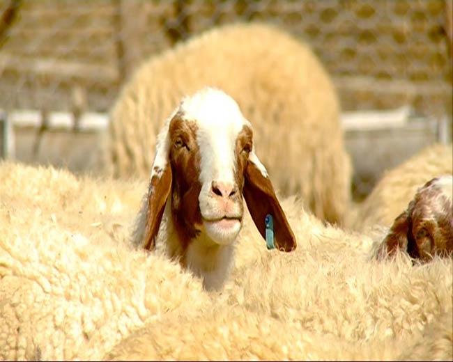 قیمت گوسفند سنجاب
