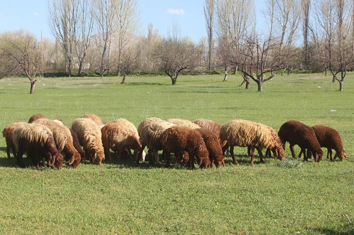گوسفندان ایران