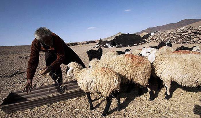گوسفندان فراهانی