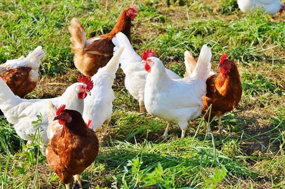 گوشت مرغ و خروس