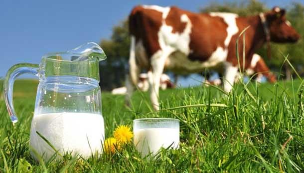افزایش شیر گاو