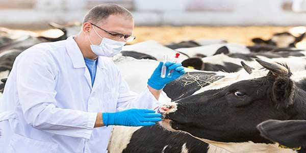 درمان هیپومنیزیمی گوساله