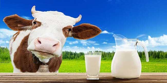 راهکار زیاد کردن شیر گاو