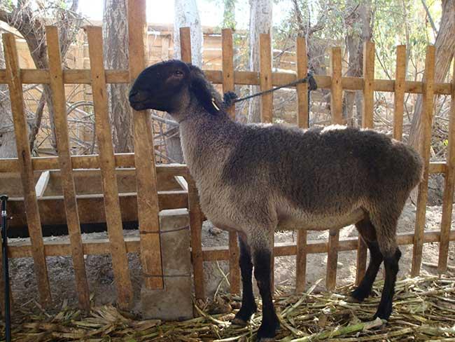 قیمت گوسفند دولان
