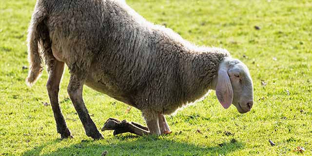 بیماری آبسه پای گوسفند