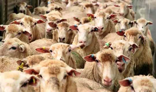 بیماری آبله گوسفندی
