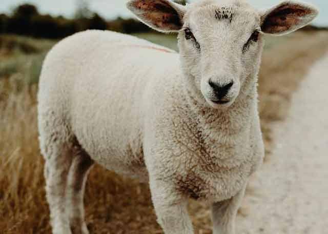 زمان مناسب گوسفند خریدن