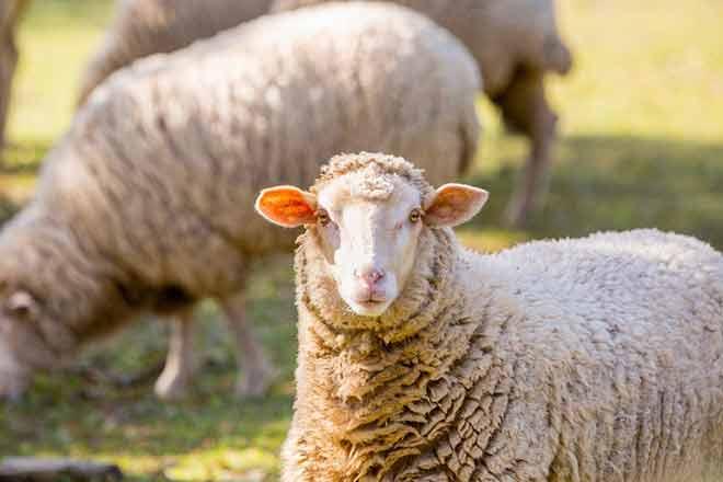 جمعیت گوسفندان ایران