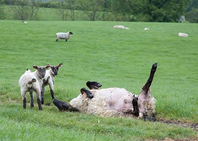علت مرگ گوسفندان