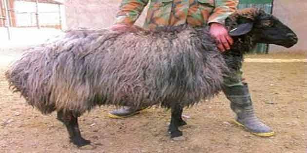 قیمت گوسفند زندی