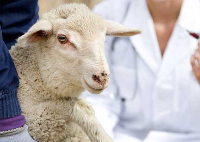 میازیس گوسفندان