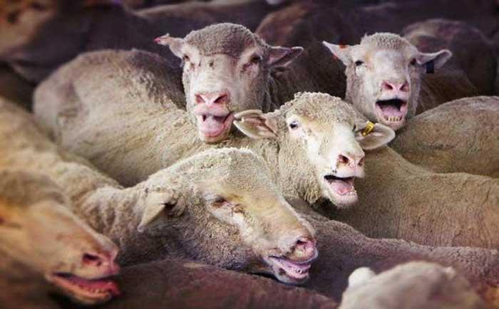 میازیس گوسفند زنده