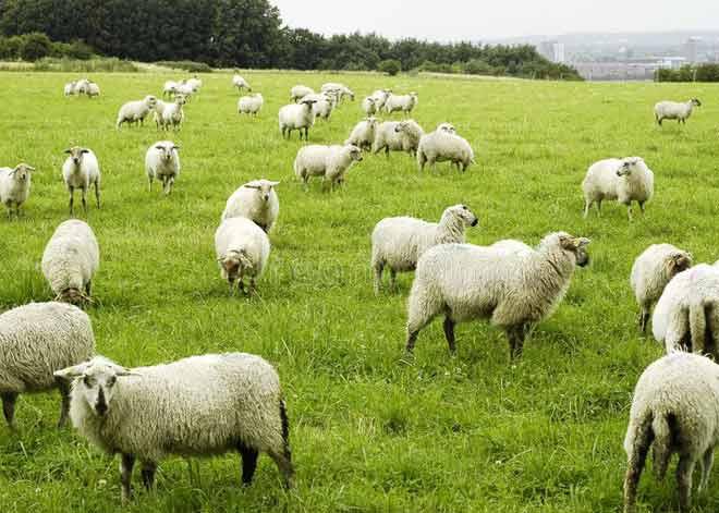 پراکنش بهترین گوسفندان ایران
