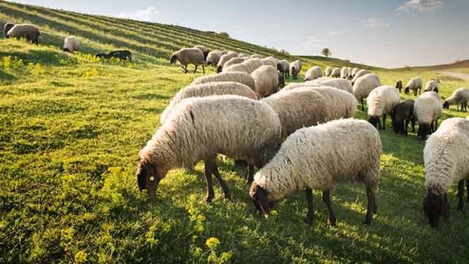 پراکنش گوسفندان ایرانی