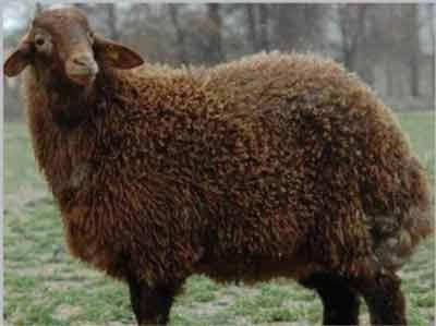 گوسفند زندی ایرانی