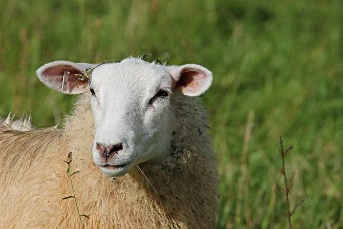 گوسفند شیشک یکساله