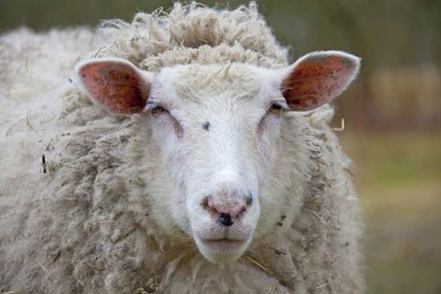 گوسفند شیشک